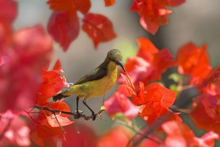 sunbird: Sunbird sitting on red flowers.