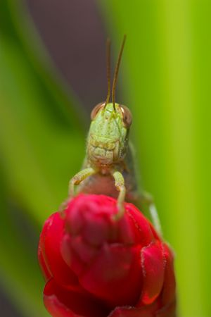 Closeup of a green grasshopper sitting on a red flower. photo