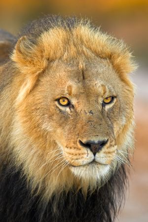 Portrait of a lion taken in South Africa.