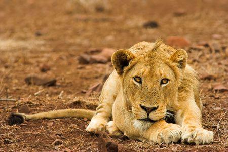 Portrait of a lion taken in South Africa. photo