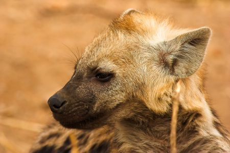 Portrait of a young hyena. The shot was taken in Kruger Park, South Africa. photo