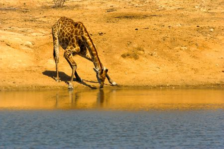 Drinking griaffe at a waterhole - the shot was taken in  the Kruger Park, South Africa photo