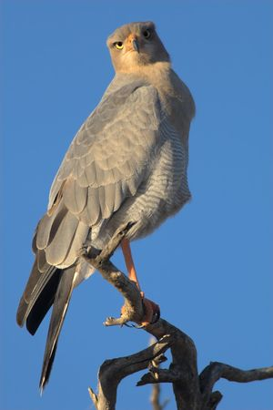 melierax: Portrait of a pale-chanting goshawk perching on a tree - the shot was taken in the Kgalagadi Transfrontier Park, South Africa
