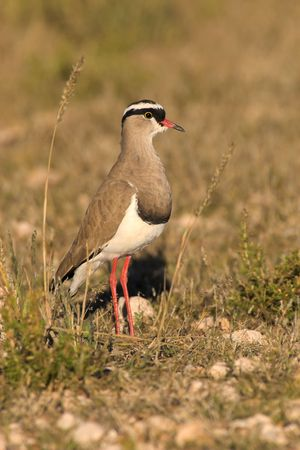 kgalagadi: Portrait of a crowned plover - the shot was taken in the Kgalagadi Transfrontier Park, South Africa