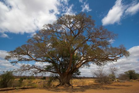 Umbrella thorn in the Kruger Park, South Africa. Stock Photo