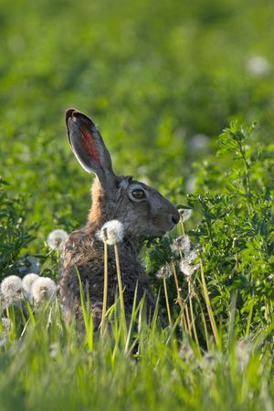 Picture of a hare sitting in a field- the photo was taken in the early morning. Stock Photo