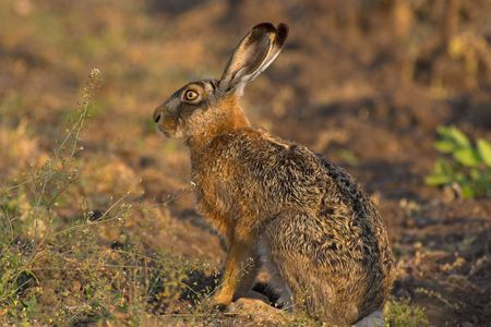 fugitive: Picture of a hare sitting in a field- the photo was taken in the early morning. Stock Photo