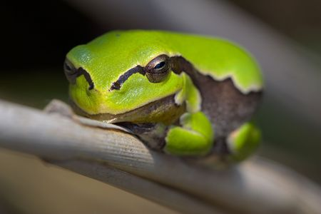 Picture of small tree frog sitting on a reed. Stock Photo - 950882