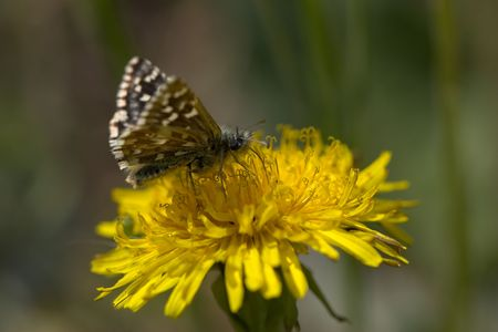 Macro of a butterfly sitting on a yellow flower. Stock Photo - 950893