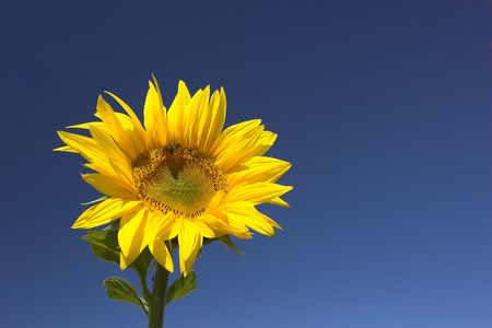 Picture of a sunflower against a clear blue sky. Stock Photo - 1318553