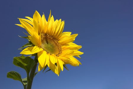 Picture of a sunflower against a clear blue sky. Stock Photo - 1318551