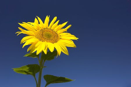 Picture of a sunflower against a clear blue sky. Stock Photo - 1318552