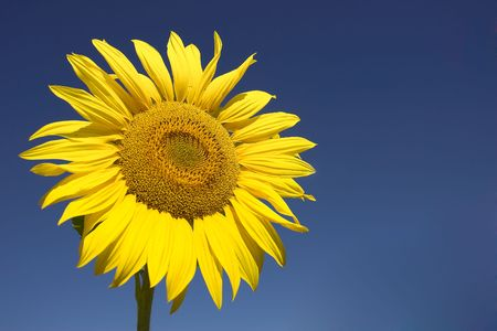 Picture of a sunflower against a clear blue sky. Stock Photo