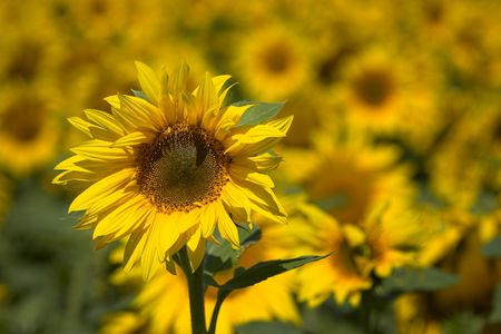 Picture of a sunflower - a whole field of sunflowers can be seen in the background. Stock Photo - 1318548