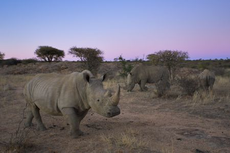 Picture white rhinoceros taken in Namibia, Africa. Stock Photo - 1318562
