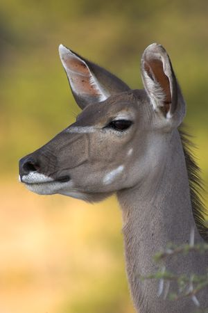 Portrait of a kudu - the picture was taken in Etosha Park, Namibia. photo