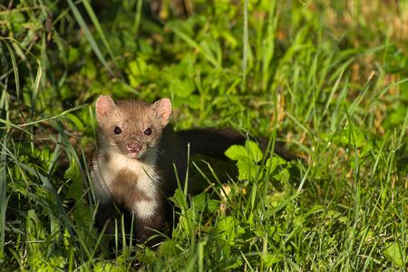 Stone marten returning from a night of hunting. Stock Photo