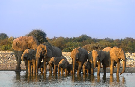 Group of elephants - the shot was taken in Etosha Park, Namibia. Stock Photo