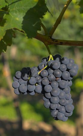 uvas vino: Vino de uvas maduras colgando de la vid