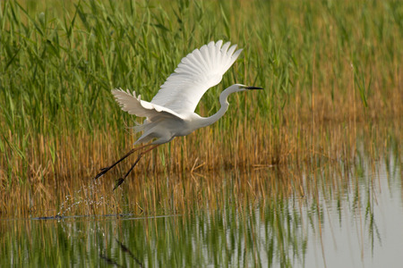 Great egret taking off from a pond Stock Photo