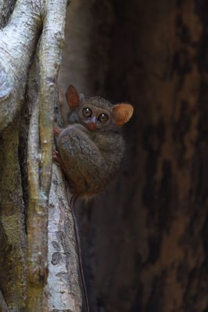 spectral: Spectral tarsier in a tree at Tangkoko forest (North Sulawesi, Indonesia).
