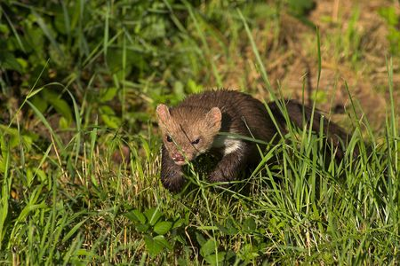 stoat: Stone marten returning from a night of hunting. Stock Photo