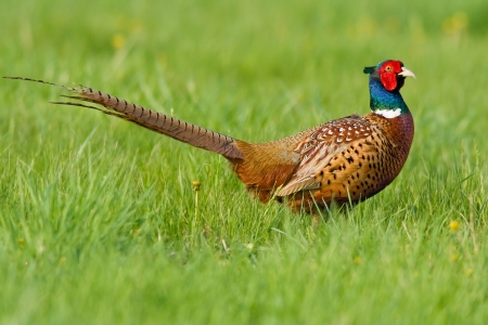 Portrait of a male pheasant (phasanius colchius). Stock Photo