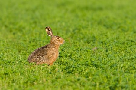 munching: Portrait of a sitting brown hare (lepus europaeus). Stock Photo