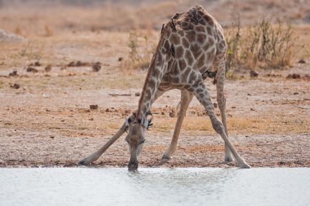 waterhole: Drinking giraffe standing at a waterhole.