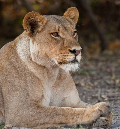 Portrait of a wild lion in southern Africa. photo