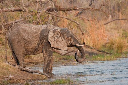 pozo de agua: Beber elefantes salvajes en una charca.