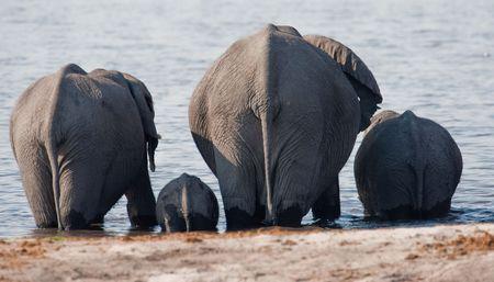 Group of wild elephants at a waterhole.