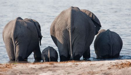 waterhole: Group of wild elephants at a waterhole.