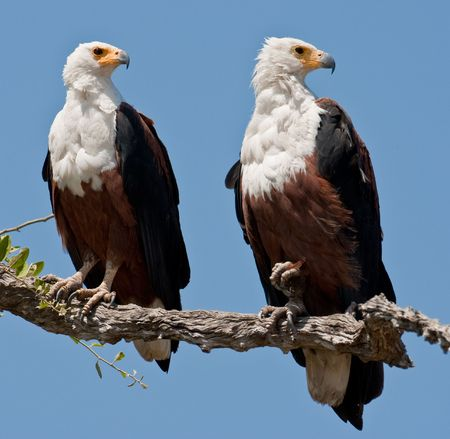 Couple of fish eagles sitting on a tree. photo