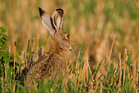 Portrait of a sitting brown hare (lepus europaeus). Stock Photo