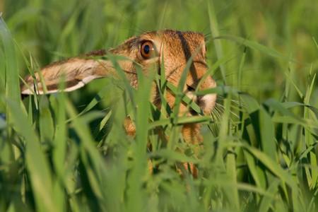 Portrait of a sitting brown hare (lepus europaeus). photo