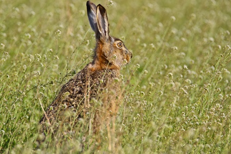 Portrait of a sitting brown hare (lepus europaeus). Stock Photo - 9494328