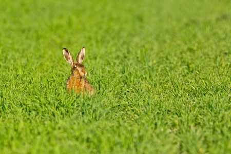 Portrait of a sitting brown hare (lepus europaeus). photo