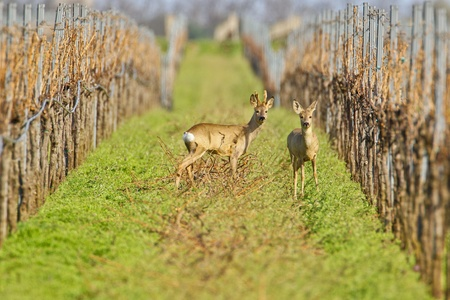 wineyard: Portrait of roe deer in a wineyard (Capreolus capreolus).