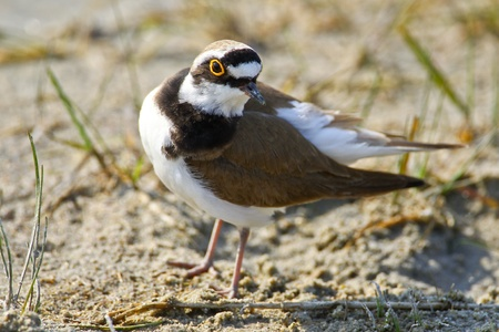 waterbird: Portrait of a little ringed plover (charadrius dubius).