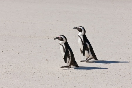 African penguins (spheniscus demersus) at the Boulders colony in Cape Town, South Africa. Stock Photo - 10162448