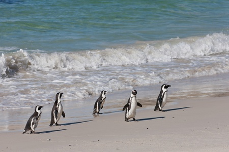 African penguins (spheniscus demersus) at the Boulders colony in Cape Town, South Africa. photo