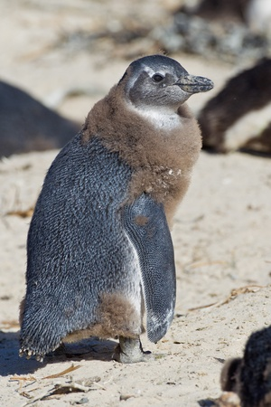 penguin colony: African penguin (spheniscus demersus) at the Boulders colony in Cape Town, South Africa. Stock Photo