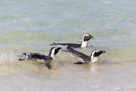 African penguins (spheniscus demersus) at the Boulders colony in Cape Town, South Africa. Stock Photo - 10162114