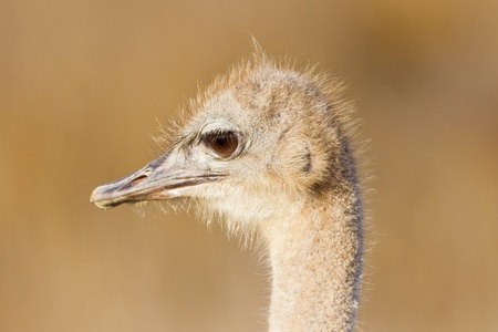 struthio camelus: Ostrich (struthio camelus) at the Table Mountain National Park in South Africa. Stock Photo