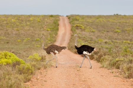 struthio camelus: Couple of ostriches (struthio camelus) at the Bontebok National Park in South Africa.