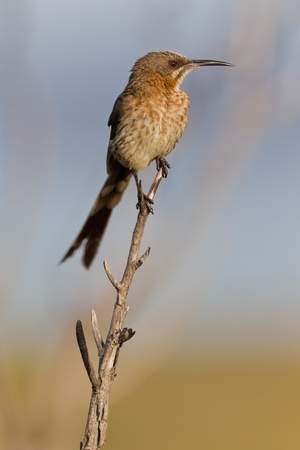Cape sugarbird (promerops cafer) at Table Mountain National Park in South Africa. Stock Photo - 10162442