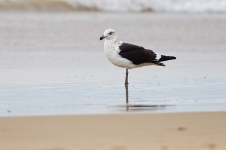 waterbird: Cape gull (larus vetula) at Wilderness National Park in South Africa.