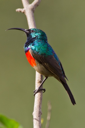 Scarlet-chested sunbird (nectarinia senegalensis) at Wilderness National Park in South Africa. Stock Photo - 10162105