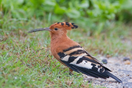 African hoopoe (upupa africana) at Addo Elephant Park in South Africa. Stock Photo - 10162465